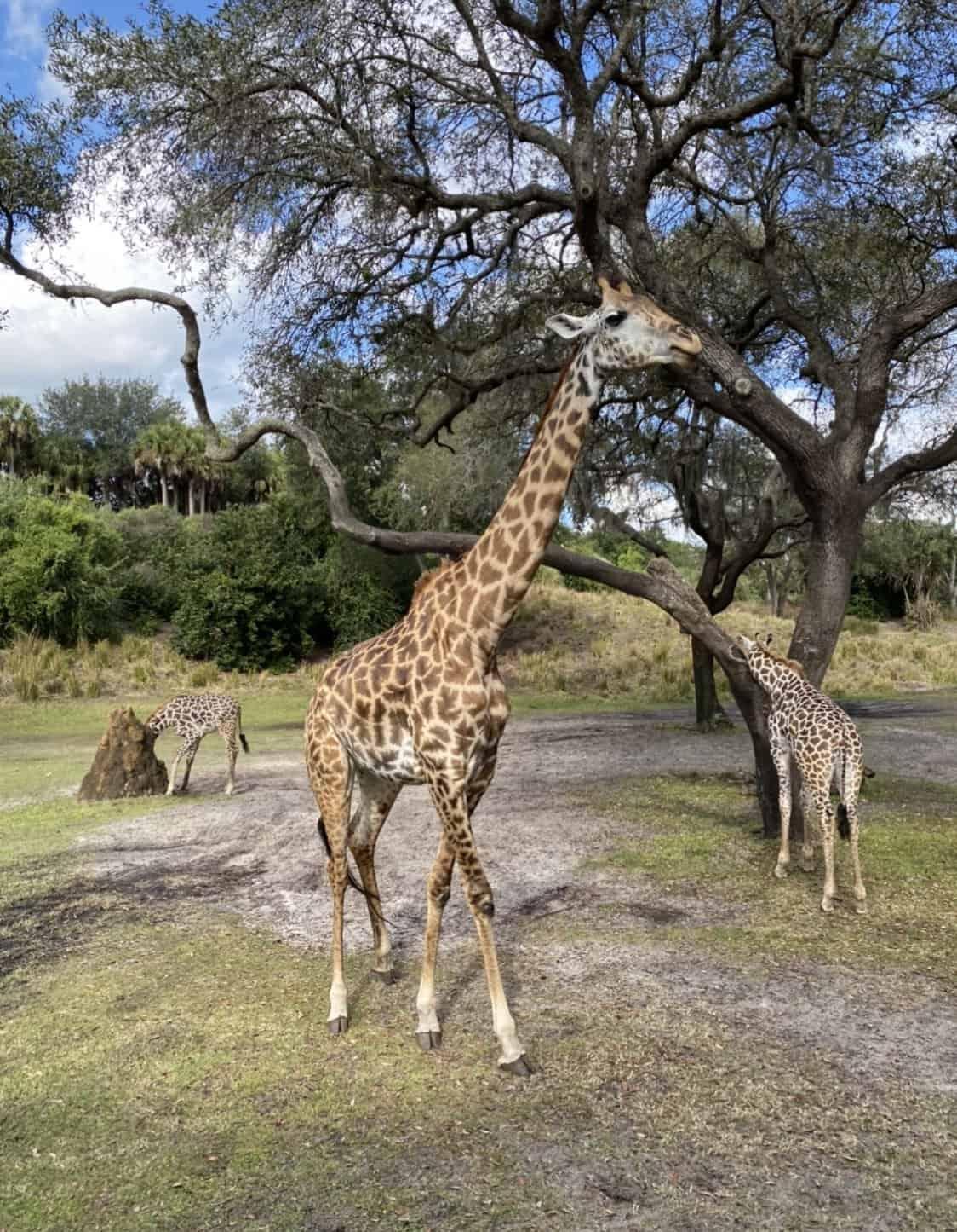 two giraffes under a tree