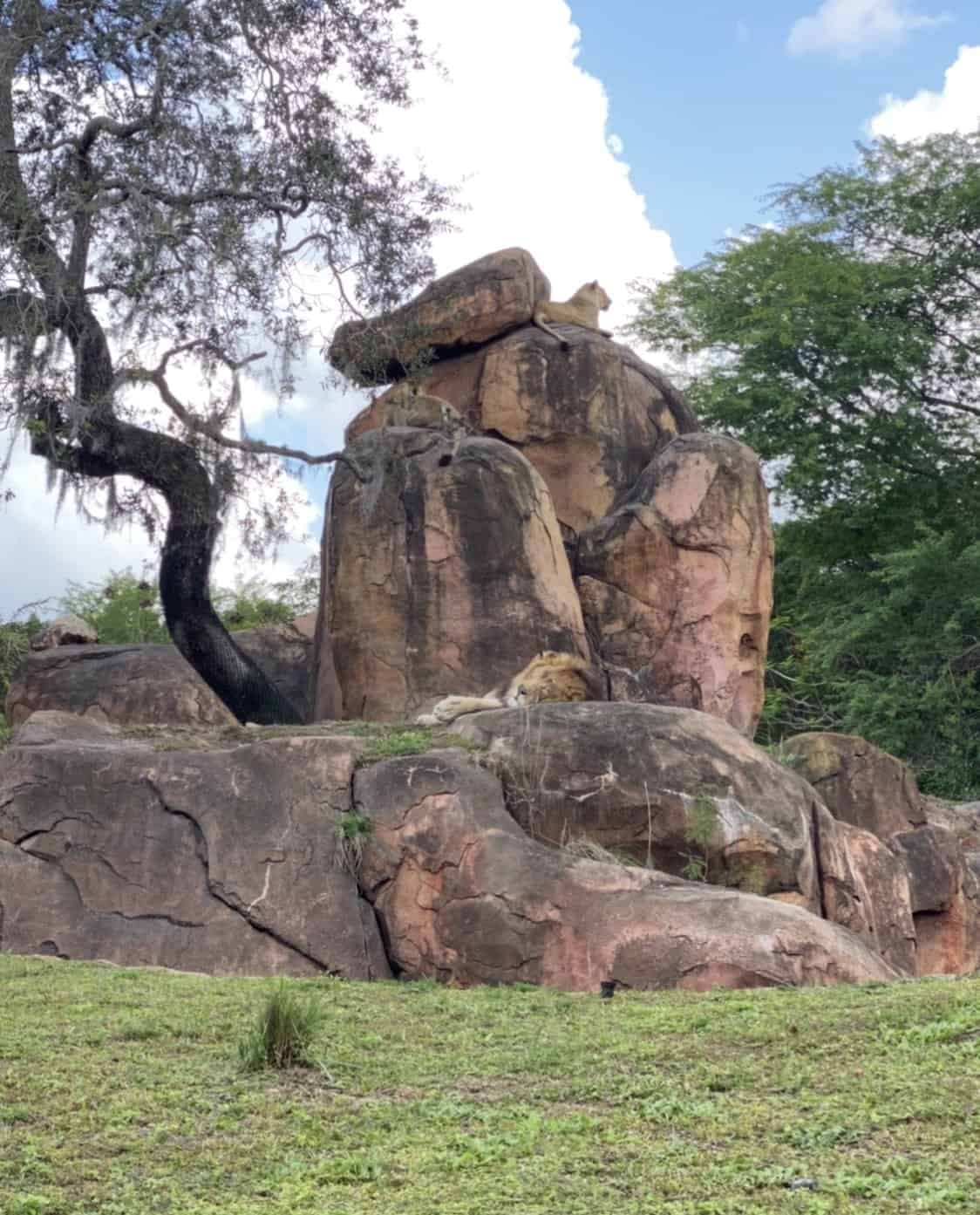 three lions sitting on a large rock shaped like donald duck