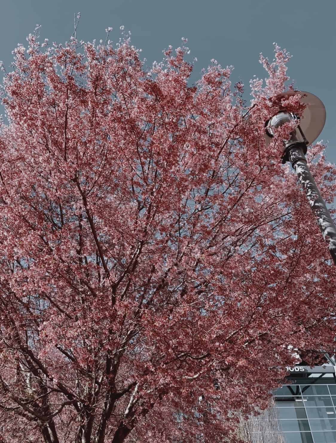 cherry blossom tree with a lamp against a blue sky