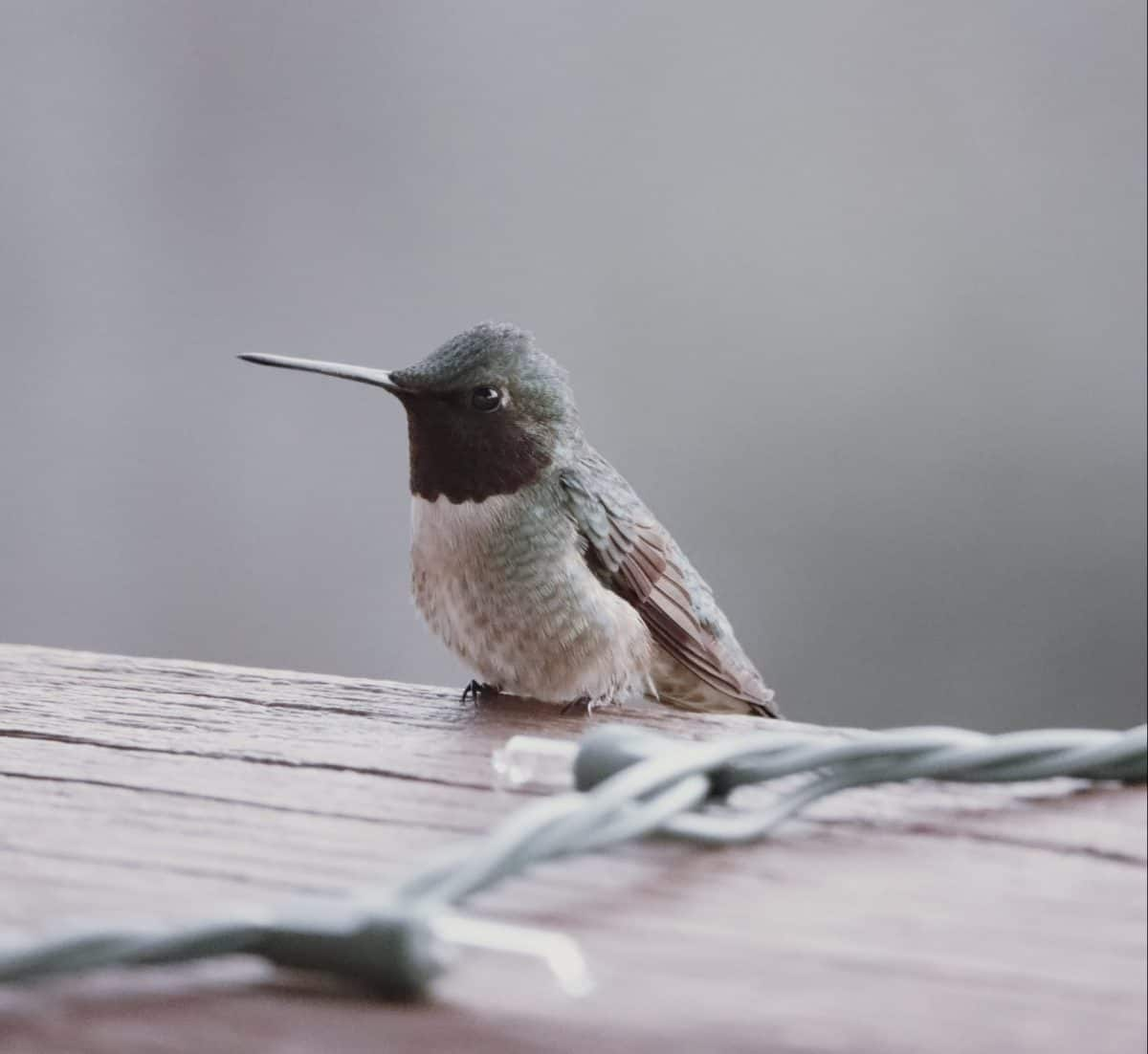 Hummingbird on a wood railing