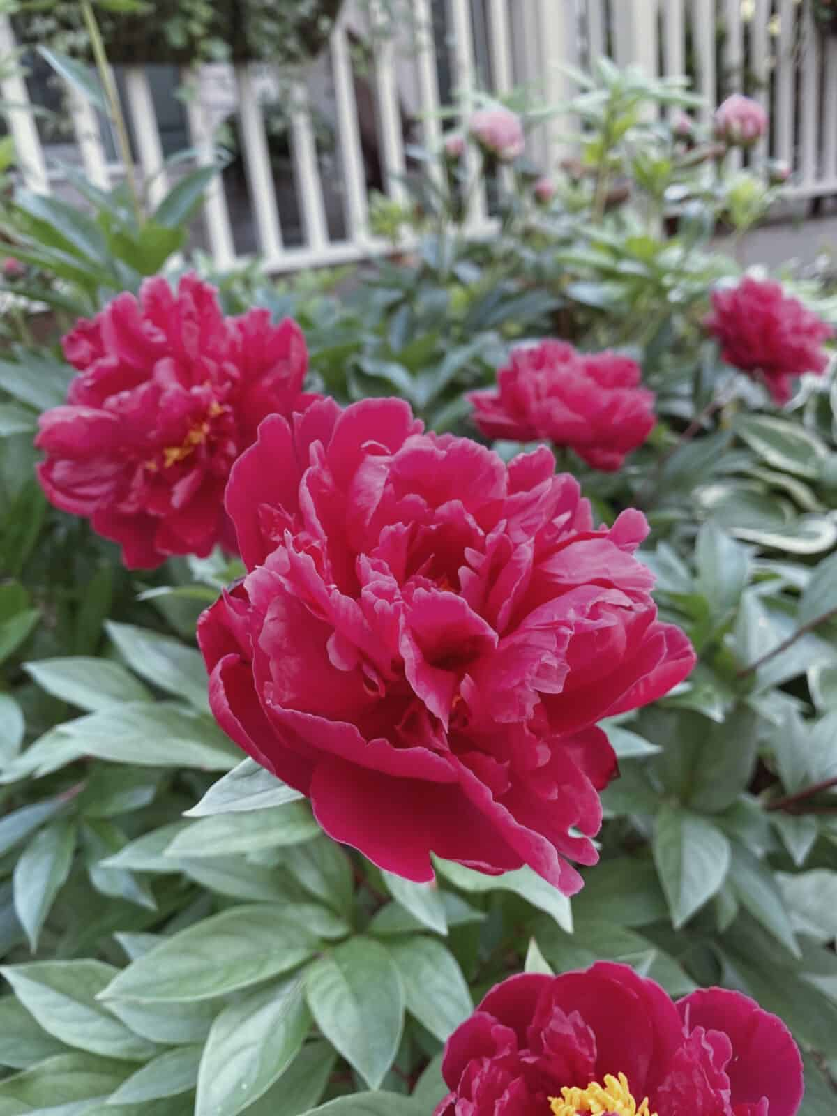 five pink peonies with white railing behind