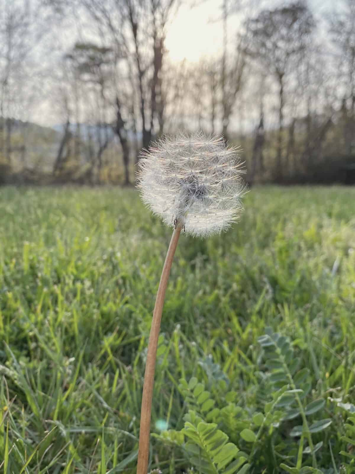 dandelion with grass and trees